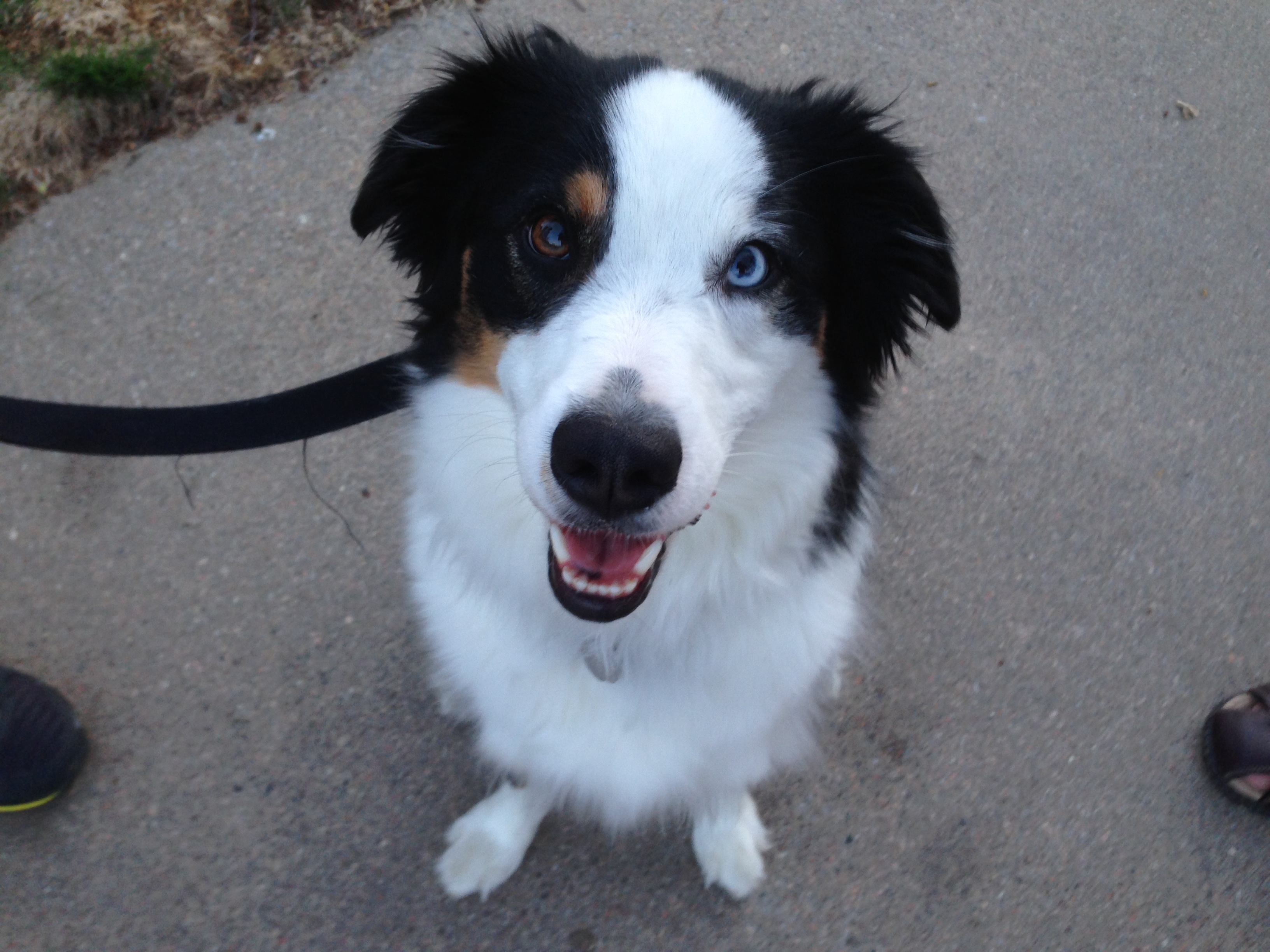 Dewey is a two year old Miniature Australian Shepherd who barks aggressively at visitors gets over excited when anyone knocks on the door is reactive to ... : insecure door - Pezcame.Com