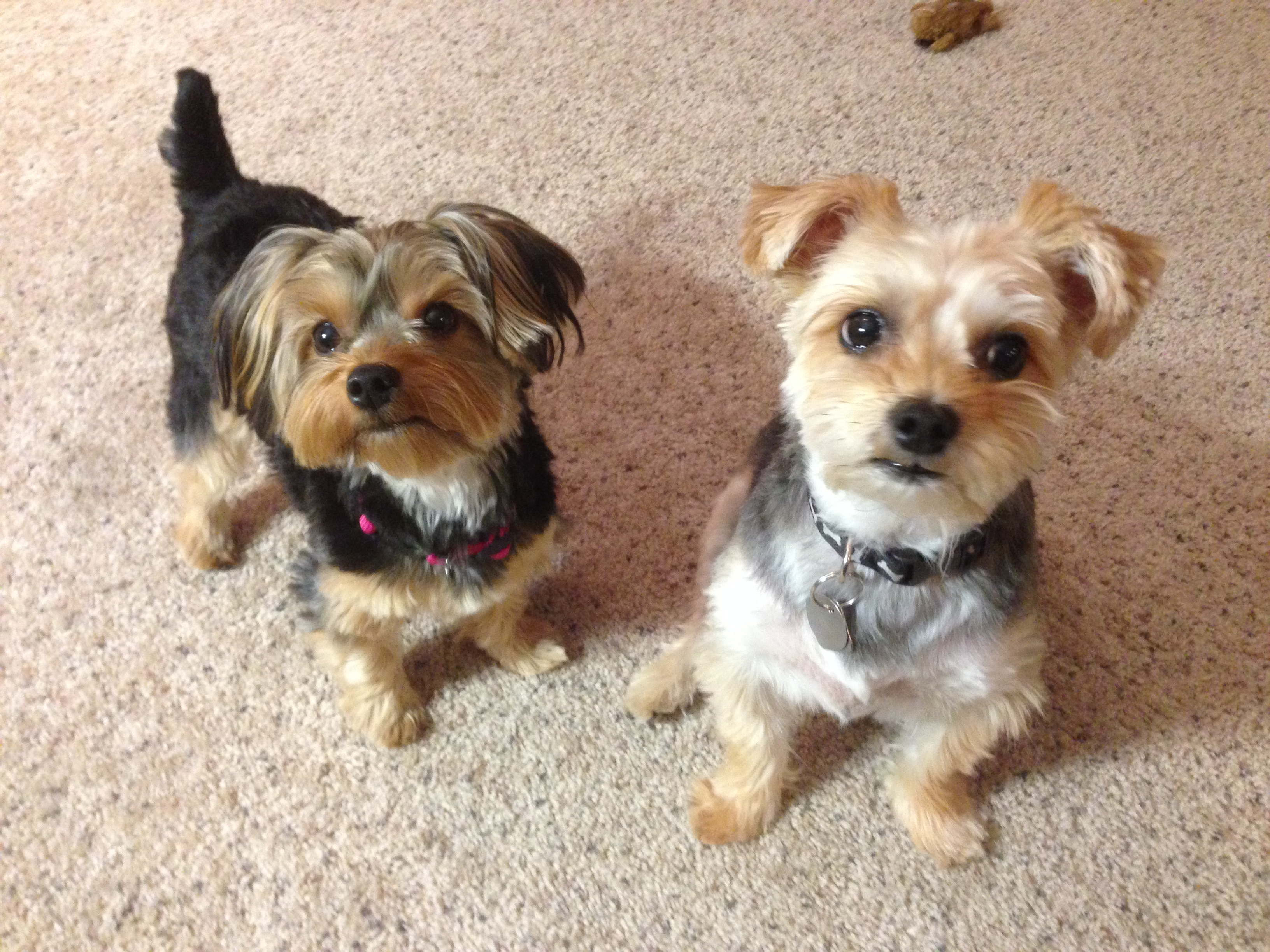 Teaching A Pair Of Little Dogs To Stop Barking At The Door Dog Gone