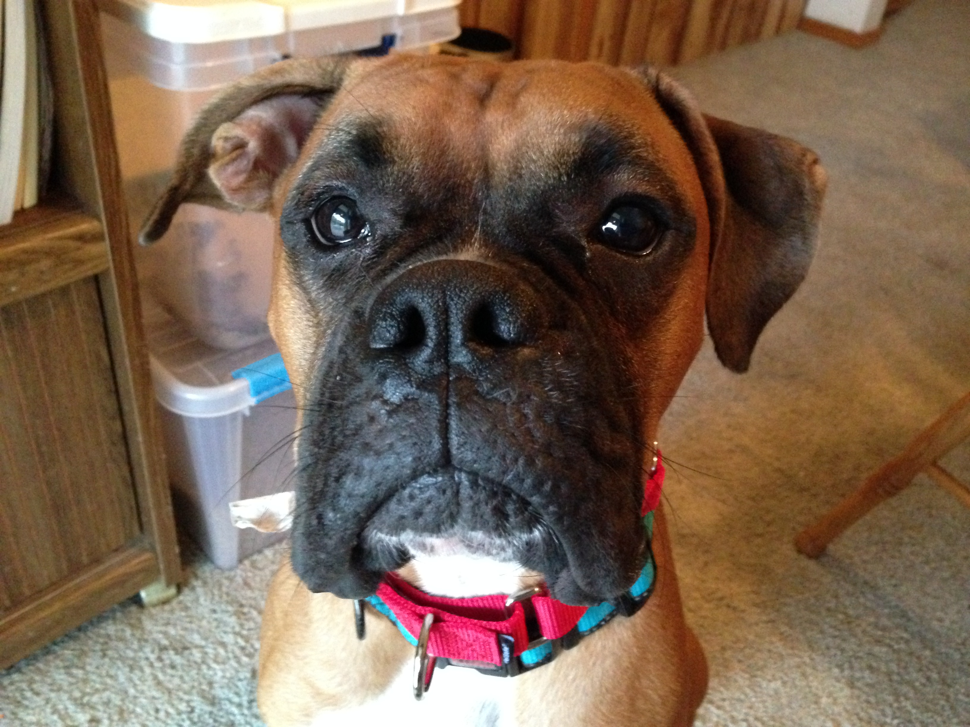 How to Stop a Boxer Dog from Biting