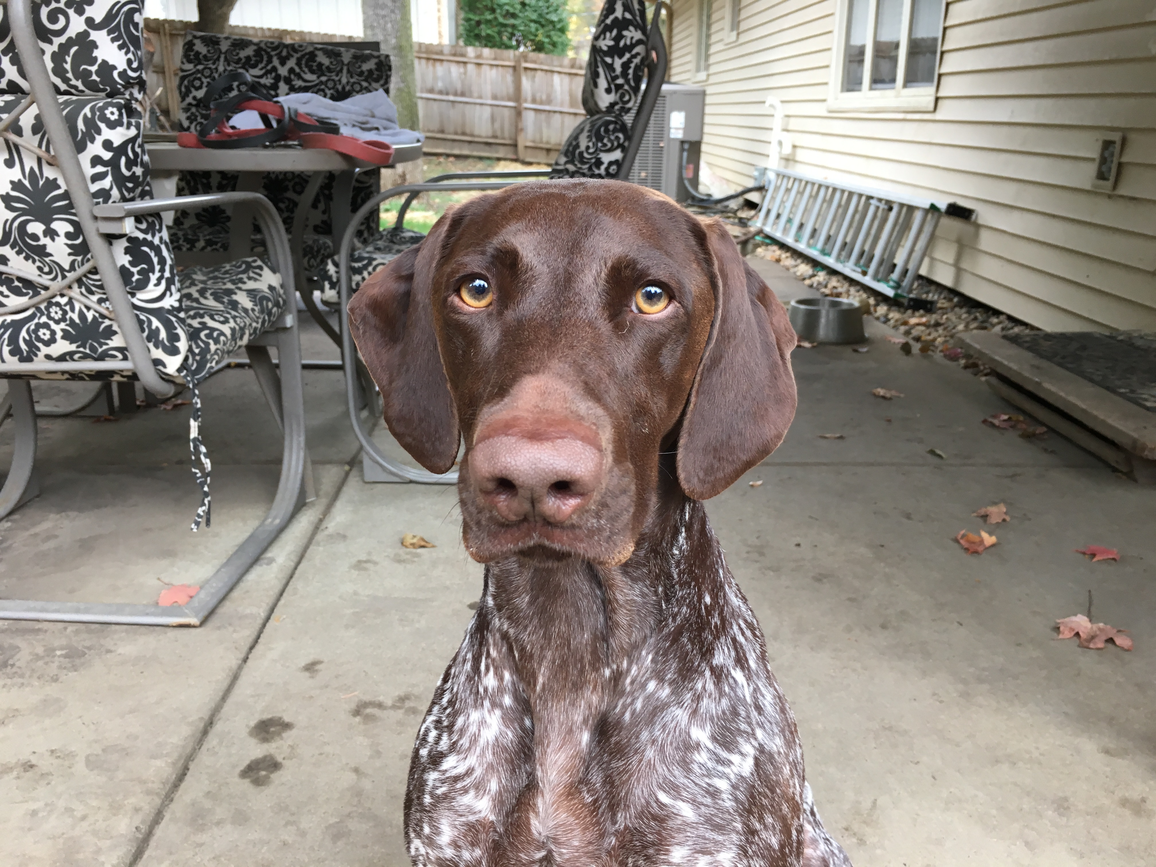 Adding Structure to Stop a German Shorthair Pointer\'s Dog Aggression ...