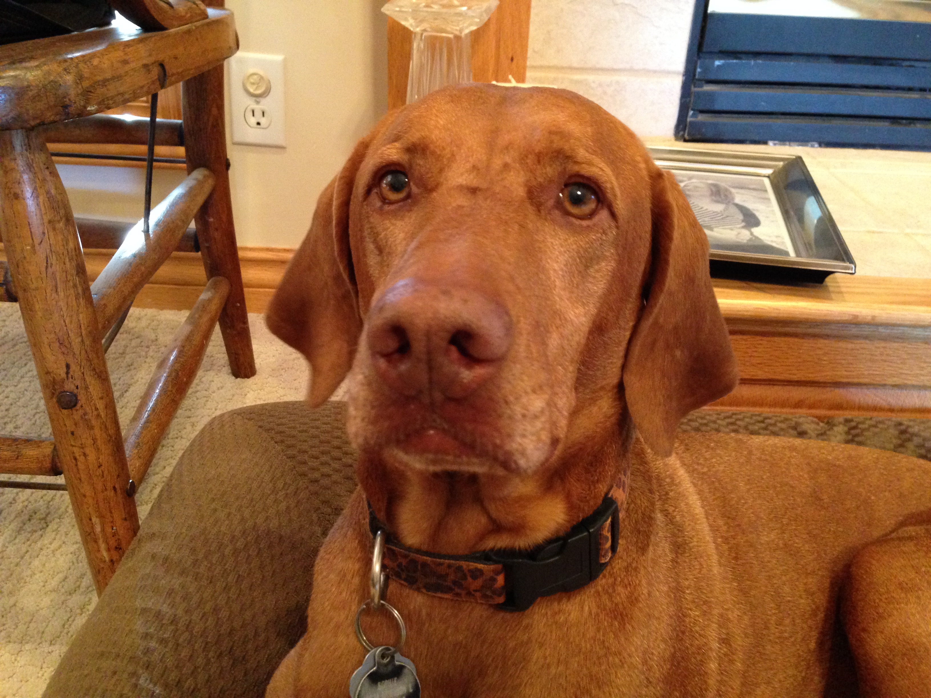 Sophie Is A Six Year Old Vizsla Who Has Changed In Personality Since Her Guardians Father Moved Out Showing Occasional Displays Of Aggression Towards The
