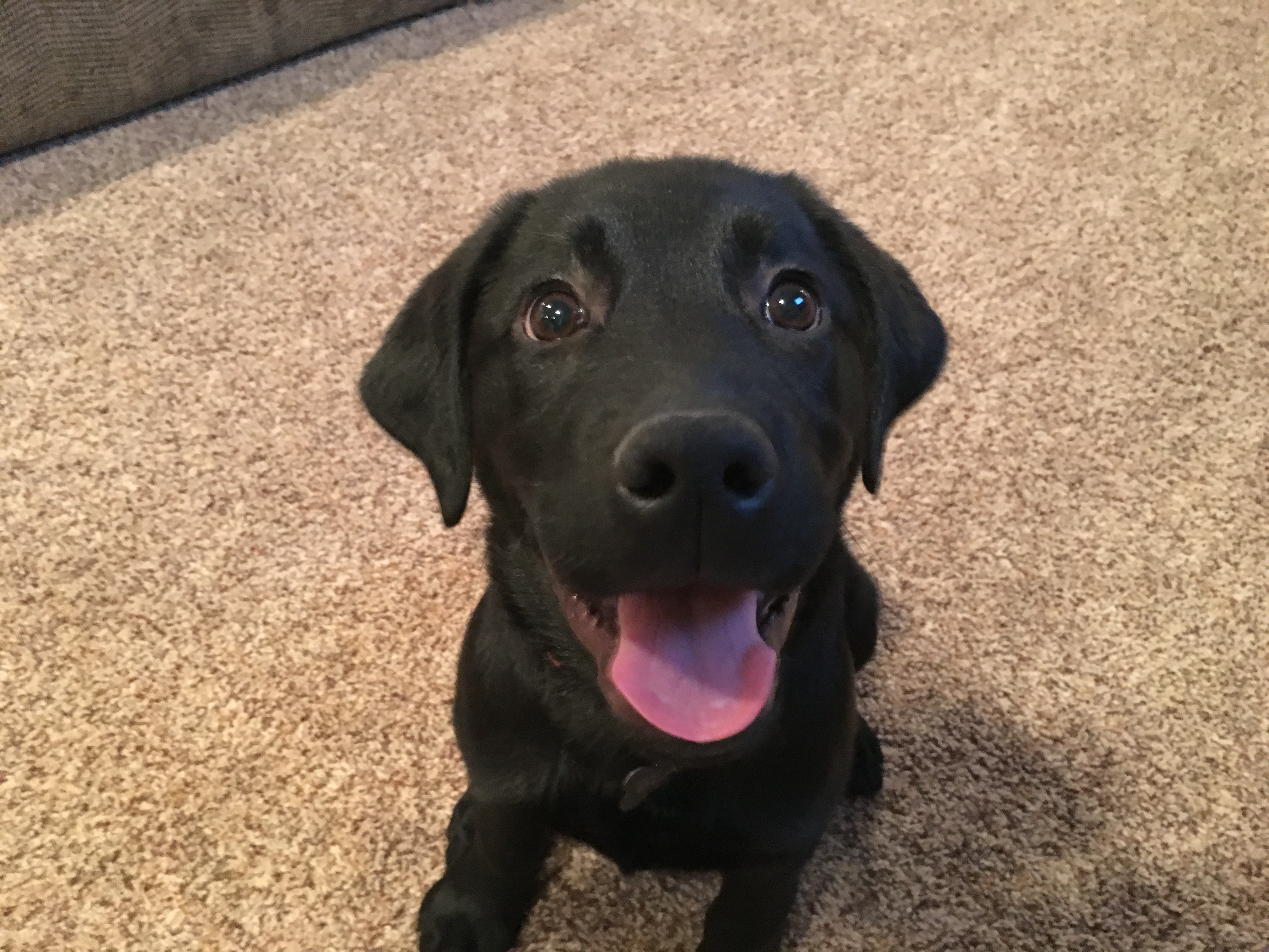 Bear (Black Lab Pup)