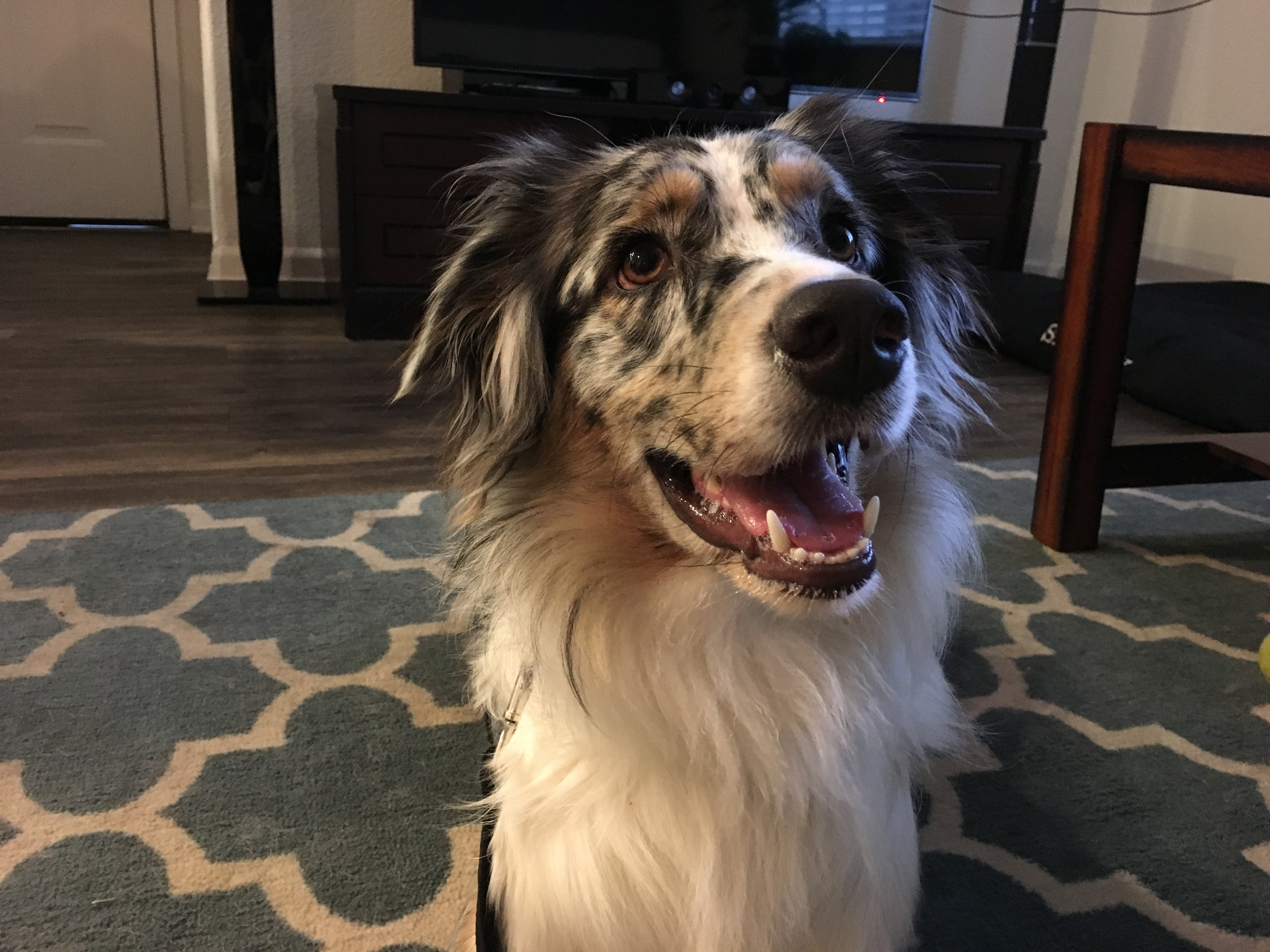 Helping A Territorially Aggressive Border Collie Aussie Settle Down Dog Gone Problems