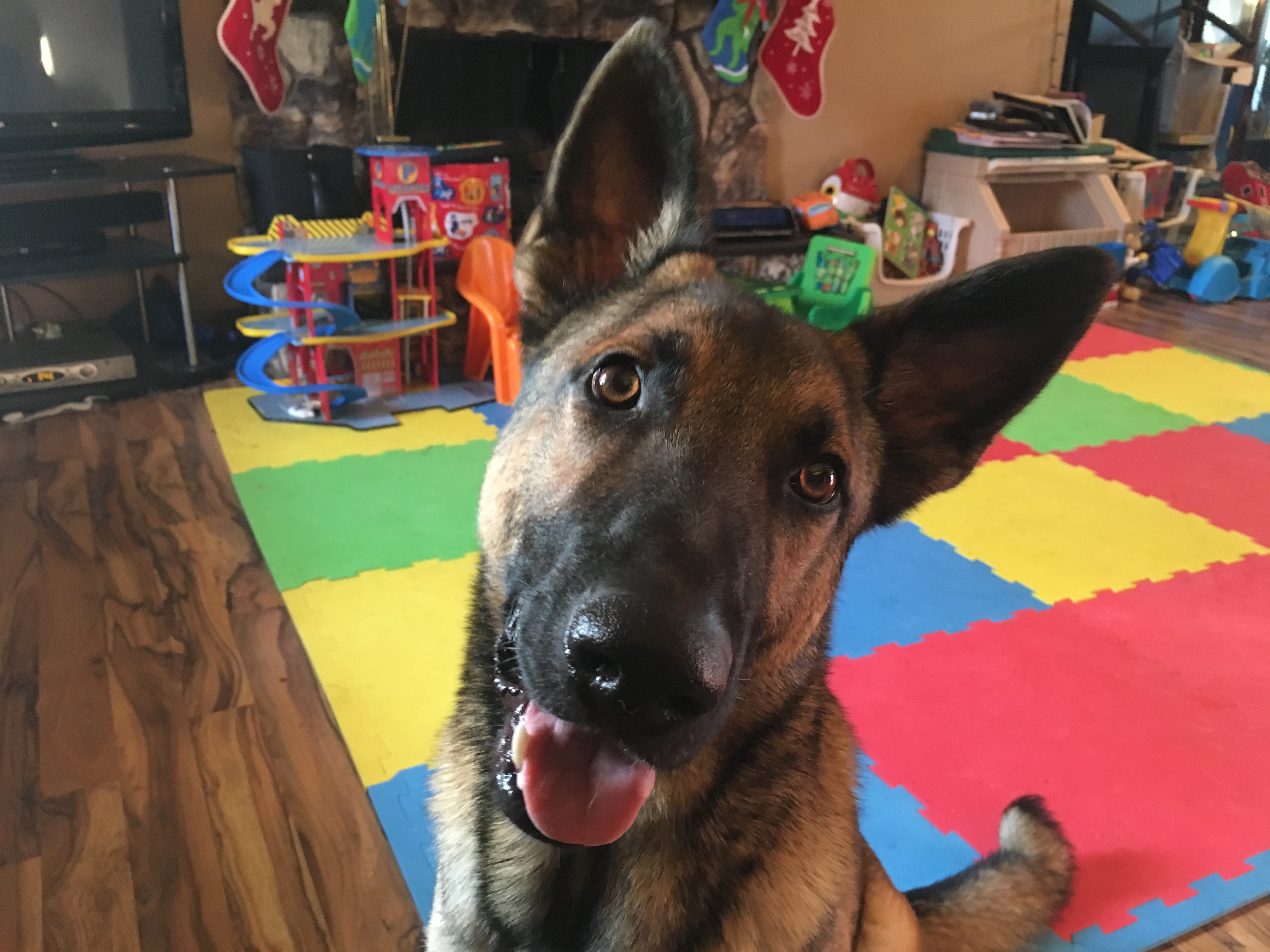 Zeus (German Shepherd)