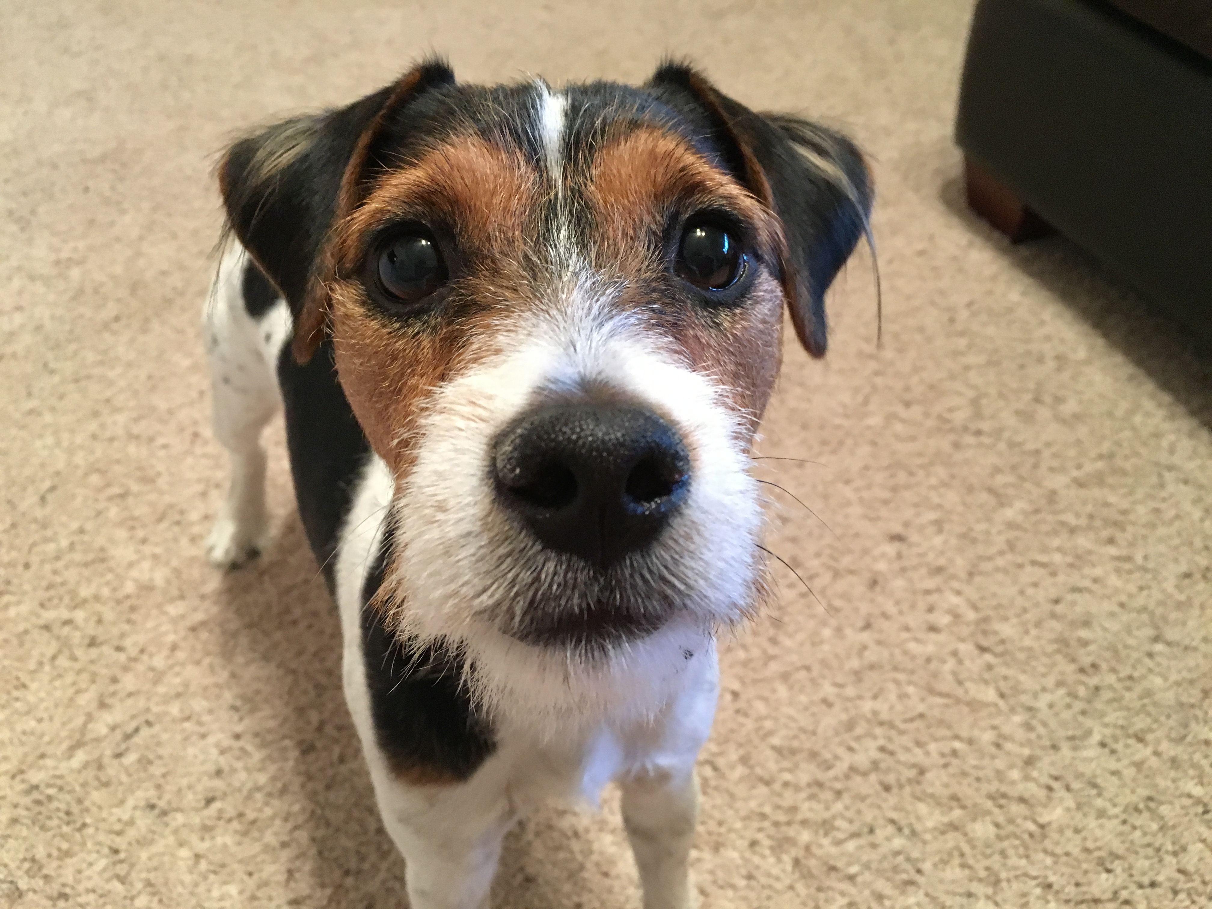 helping a nervous jack russell terrier learn to relax dog gone problems
